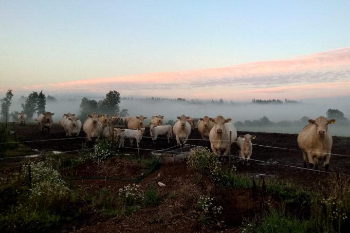 Eeva-Liisa Puhakan teos Joka elokuu vuodelta 2015, valokuva. Lehmiä vihreällä laitumella. Taustalla sumuinen maisema. Kuva: Eeva-Liisa Puhakka